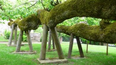 700 stará lípa v Kamenici
