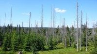 Jizerské hor dnes: nová výsadba prorůstá starou, poničenou