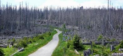 Cesta na Poledník na Šumavě, kůrovcem zaažený les ve výšce zhruba 1 300 m