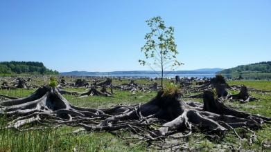 Pravý břeh Lipna, pod Sovím vrchem. Stromy pokácené při stavbě přehrady v letech 1950-1959 vystupují při nízkém stavu vody.